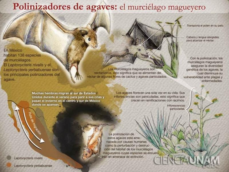 ig_1murcielagomagueyero